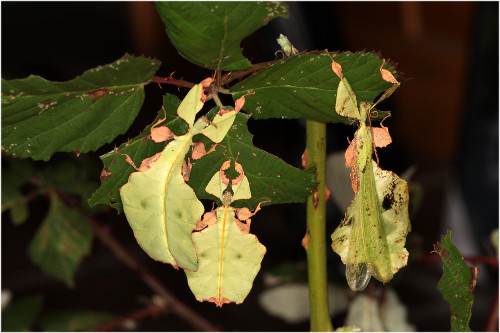 Phyllium Dk Leaf Insect Stick Insect Vandrende Blade Psg
